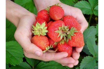 イチゴのドライフルーツの美容効果